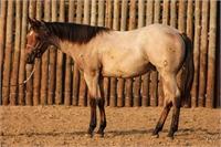 2017 Bay Roan Stallion by Two ID Sweet Jack