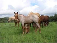 2018 Red Roan horse colt. NEW Pictures