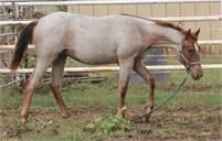2018 Red Roan Stallion