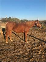 Sorrel mare IN FOAL to One Royal Cat