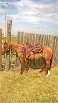 Red Dun Mare, Finished Cutter with earnings, click ad for details