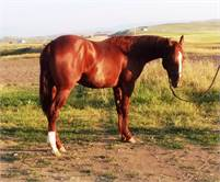 2016 Chestnut Gelding –Peptoboonsmal daughter x Dual Pep son – Head horse prospect