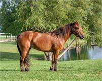 Outstanding Quarter Pony Gelding, CHILDPROOF - Take him any direction, he can do it!