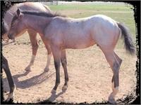 ►$2,000◄ '17 Bay Roan Stud Colt ~ +19% BV ~ Colorado