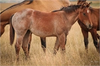 2017 Flashy Bay Roan Filly Grd-dtr Two ID Sweet Jack & Genuine Hombre