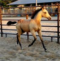GORGEOUS BUCKSKIN DAUGHTER OF IM COUNTIN CHECKS