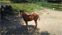 apha cow bred filly