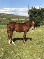 2019 Cats Merada weanling horse colt