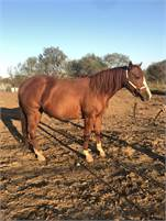 Flashy sorrel mare IN FOAL TO BOON A LITTLE