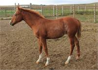 Very Well bred cowhorse filly !!