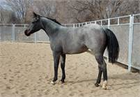 BAY ROAN FILLY  CD LIGHTS X BLUE BY THE JUDGE X  JUDGE BOON,