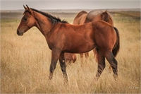 2017 Bay Colt by Two ID Sweet Jack ~ HPI Eligible