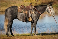 Big Pretty Grey Gelding ~ Trail, Rope & Ranch Horse