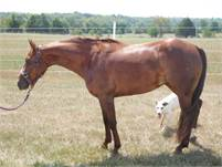 Three Year Old Chestnut Mare by Kit Kat Sugar