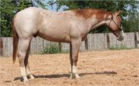 2017 Chromed Up Red Roan Once In A Blu Boon Stallion