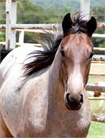 50% AUTUMN BOON BRED FILLY