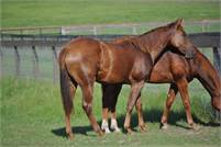 Reys Dual Badger 2017 chestnut filly out of a daughter of Light N Lena, Cattastic NCHA $34,000+
