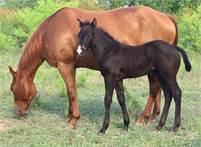 2019 Chocolate Bay Horse Colt, KING P-234, JESSE TIVIO, POCO TIVIO, POCO BUENO bloodlines