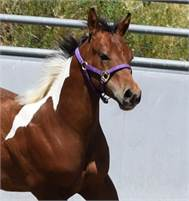 Reined Cowhorse prospect